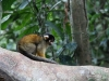 Squirrel monkey on Monkey Island